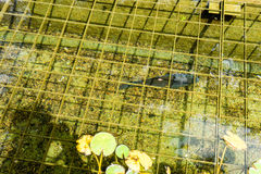 Fish in pond with water reflection seen in park stock image