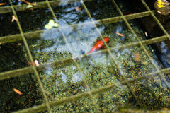 Fish in pond with water reflection seen in park royalty free stock image