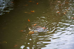 Fish in the pond Royalty Free Stock Image