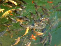 Fish in Pool. Many freshwater fish grab in pool in sunshine noon Royalty Free Stock Photo