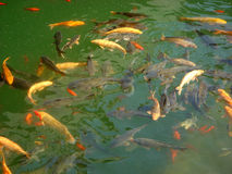 Fish in Pool. Many freshwater fish grab in pool in sunshine noon Royalty Free Stock Images