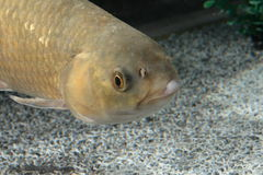 Fish. Portrait of freshwater fish swimming Stock Image