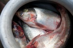 Fish in a pot Stock Photography