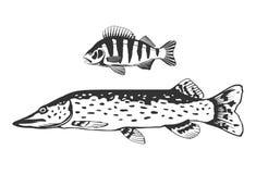 Fish predators set. Set of freshwater fish predators perch and pike, black and white isolated Stock Image