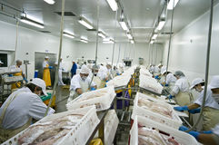 Fish processing factory. A fish processing factory, aerial view of the hall with people working - cutting fish, preparing fillets. See the whole collection of royalty free stock image