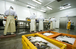 Fish processing manufacture. Interior of the hall in which fish are processed (cut, cleaned, filleted). The image is part of Fish Processing Manufacture Stock Photos