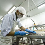 Fish processing manufacture. A male worker in a fish processing manufacture, he is using a sharp knife to cut and fillet a fish (cod).  The image is part of Fish Stock Photography