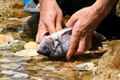Fish processing. It will be cleaned fish. Fish processing outdoors. Detail Stock Image