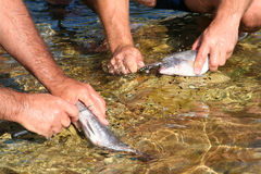 Fish processing. It will be cleaned fish. Fish processing outdoors. Detail Royalty Free Stock Photos