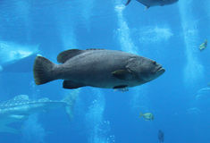 Fish profile. Profile of a large fish swimming in an aquarium Stock Photo