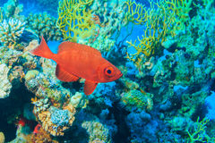 Fish protein. Pracanthus hamrur. Fish protein in the coral reef of the red sea Stock Photos