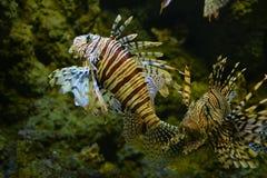 Fish Pterois volitans - Lionfish (Black)in an aquarium Gdynia, Poland Stock Photography