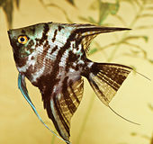 Fish pterophyllum scalare Stock Photos