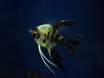 Fish Pterophyllum scalare  at dark blue water close up. Fish Pterophyllum scalare  at the dark blue water close up Stock Image