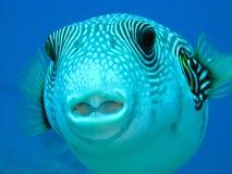fish puffer Στοκ εικόνες με δικαίωμα ελεύθερης χρήσης