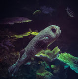 Fish puffer dots Royalty Free Stock Photos