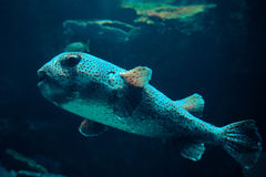 Fish puffer dots Royalty Free Stock Images