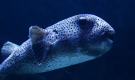 Fish puffer dots Royalty Free Stock Photo