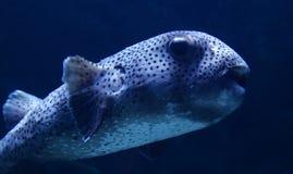 Fish puffer dots Royalty Free Stock Photo