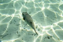 Fish puffer on a  bottom Royalty Free Stock Photography