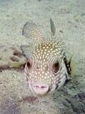 fish puffer spotted white Royaltyfri Bild