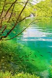 Fish in pure water of the Plitvice lakes Stock Image