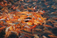 Fish of QianDao lake in Hangzhou Royalty Free Stock Photos