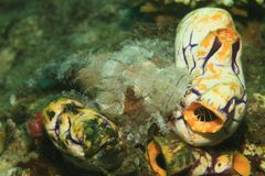 Fish - Raggy scorpionfish. Fish Raggy scorpionfish - Scorpaenopsis venosa among yellow, white and blue Golden sea squirts - Polycarpa aurata on bottom of sea in Royalty Free Stock Image