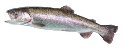 Fish rainbow trout, jumping out of the water, isolated on a white background. Royalty Free Stock Photo