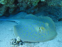 Fish Ray. At the Red sea Stock Images