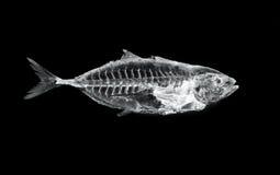 Fish x ray. Tuna x-ray of animal skeleton stock image