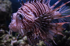 Fish (Red lionfish) Royalty Free Stock Image