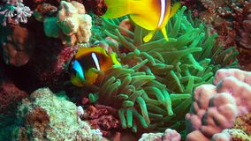 Fish of the Red Sea. Red Sea Anemonefish Amphiprion bicinctus stock video