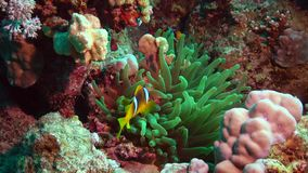 Fish of the Red Sea. Red Sea Anemonefish Amphiprion bicinctus. stock footage