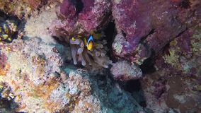 Fish of the Red Sea. Red Sea Anemonefish Amphiprion bicinctus. stock video