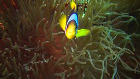 Fish of the Red Sea. Red Sea Anemonefish Amphiprion bicinctus. A married couple of fishes swimming in green sea anemone stock video footage