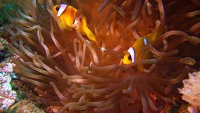 Fish of the Red Sea. Red Sea Anemonefish Amphiprion bicinctus. A married couple of fishes swimming in green sea anemone, a symbiotic relationship stock footage