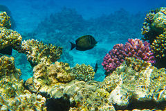 Fish in Red sea. Coral reef and fish in Red sea Stock Image