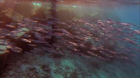 Fish of the Red Sea stock video