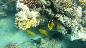 Fish of the Red Sea. Multicolored fish swim over the corals stock footage