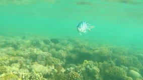 Fish of the Red Sea. Multicolored fish swim over the corals. Undersea world stock video