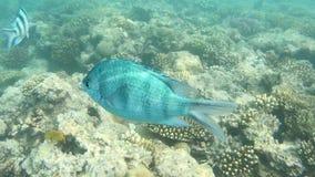 Fish of the Red Sea. Multicolored fish swim over the corals. Undersea world stock video footage