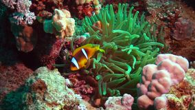 Fish of the Red Sea. Red Sea Anemonefish Amphiprion bicinctus stock footage