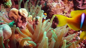 Fish of the Red Sea. Red Sea Anemonefish Amphiprion bicinctus stock video footage