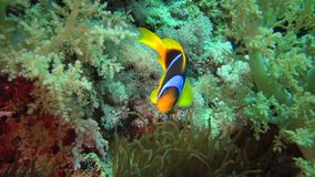 Fish of the Red Sea. Red Sea Anemonefish Amphiprion bicinctus. A married couple of fishes swimming in green sea anemone, a symbiotic relationship stock video