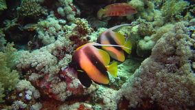 Fish of the Red Sea. Red Sea Bannerfish Heniochus intermedius. Fish swim over a coral reef stock video footage