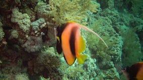 Fish of the Red Sea. Red Sea Bannerfish Heniochus intermedius. Fish swim over a coral reef stock footage