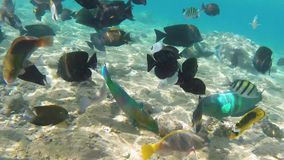 Fish in Red sea. Underwater footage colorful fish on coral reef, Red sea Egypt stock footage