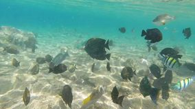 Fish in Red sea. Underwater footage colorful fish on coral reef, Red sea Egypt stock video footage