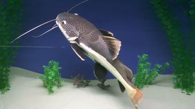 Fish, Red-Som stock footage
